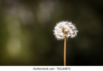 lone dandelion