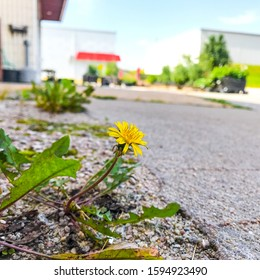 A lone dandelion growing through the concrete on a mellow afternoon day.