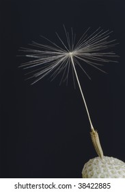 a lone dandelion seed attached to the seed head