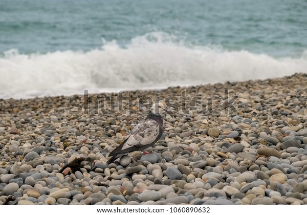A lone dove strolls along the coast of the Black Sea. Dove against the background of sea waves
