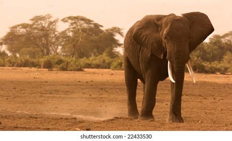 Lone Elephant in Amboseli Kenya