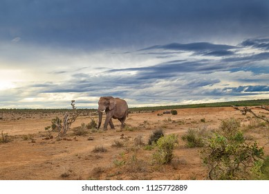 A lone elephant bull  on a  desolate   plain  with stormy clouds in the background. Addo Elephant National Park South Africa