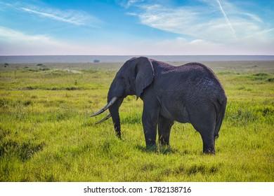 Lone elephant on the vast grasslands of the Serengeti