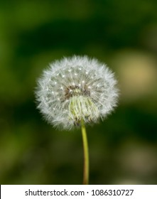 lone flower of a dandelion