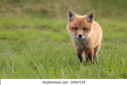 A lone fox pup in a green grassy field.