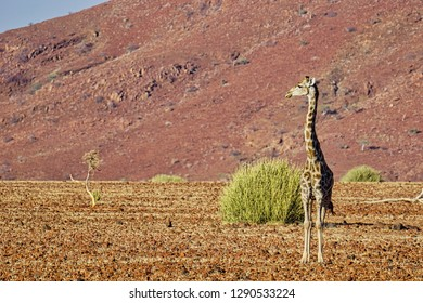 Lone giraffe standing beside a poisonous euphorbia bush at the base of a red sandstone massif. Palmwag, Damaraland, Namibia, Africa.