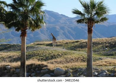 lone  giraffe walk across a misty hill