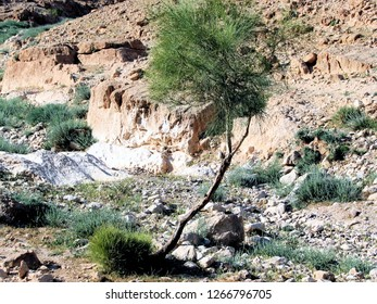 Lone green acacia wood tree growing in the Judean wilderness (Israel Palestine). This acacia is located in the rocky desert near Arad, Masada, and the Dead Sea.