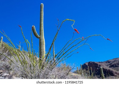 A lone green saguaro cactus against a blue sky with an ocotillo bush in bloom with red flowers. Mountains in the distance mark the beginning of Pima Canyon. Tucson, Arizona. Spring of 2018.