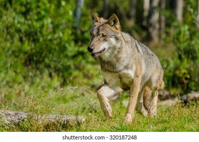 Lone Grey wolf (Canis lupus) in natural habitat