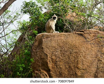 A lone Hanuman langur or Tufted gray langur (Semnopithecus entellus) sitting on a rock. At the Arunachala hills, Thiruvannamalai, on the way to Ramana Maharshi's cave.