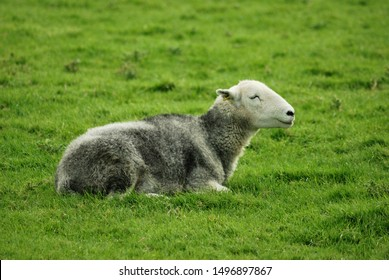 A Lone Herdwick sheep laying down in the grass, taken near Keswick in the English Lake District.