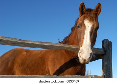 Lone Horse Looking Over Fence