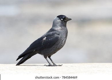 A Lone Jackdaw standing on a bright wall