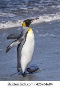 Lone King Penguin