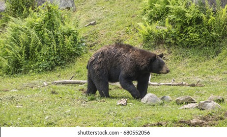 A lone large black bear