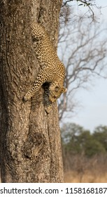 Lone leopard climbing fast down a tree trunk in nature during daytime