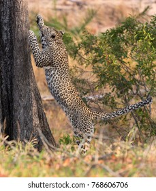 Lone leopard climbing fast up a high tree trunk in nature during daytime