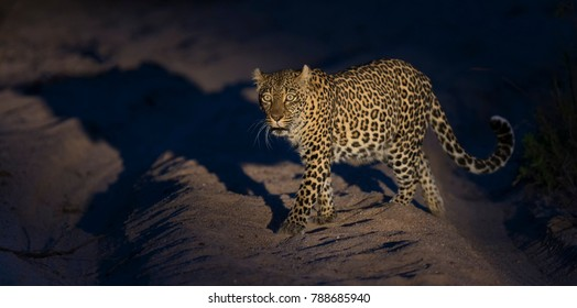 Lone leopard walking in darkness to hunt for food in nature