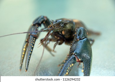 Lone live crawfish on a table.  Close up.