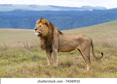 A lone male lion standing proud in the Ngorongoro Crater
