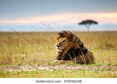 Lone male lion staring over the Masai Mara in the evening - Notch was his name