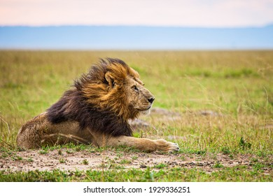 Lone male lion staring over the Masai Mara as the evening  wind picks up