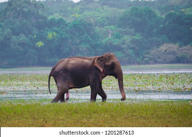 A lone male Sri Lankan elephant walking at the edge of a villu in Wilpattu National Park, Sri Lanka