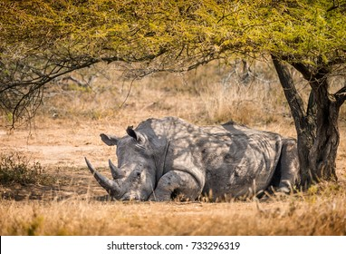 Lone male white rhino resting in the shade of a tree in the South African bush
