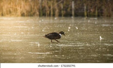 A lone mallard duck walks to the shore of a frozen pond. The duck carefully walks on the ice.