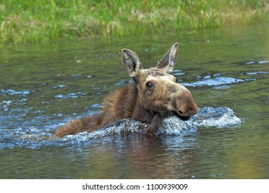 Lone moose swimming across a lake in Yellowstone National Park