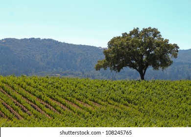 The Lone Oak, horizontal orientation of green vineyards and lone oak tree with rolling hills in the background