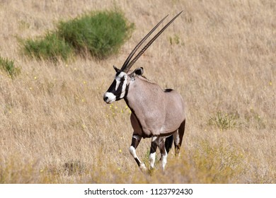 a lone oryx in the Kalahari desert