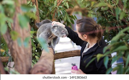 Lone pine koala sanctuary, Brisbane, Australia; CIRCA July 2019. A woman official feeding and petting koala.