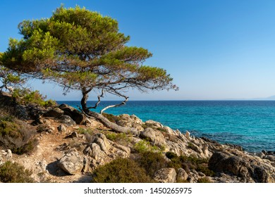 Lone pine is shown at the Aegean sea background