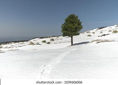 lone pine in winter Etna Park, Sicily