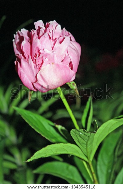 lone pink peony bloom with green leaves at night