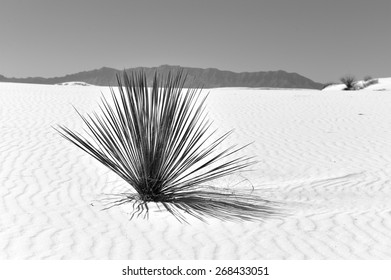 Lone plant in Gypsum #3 - Black and White - Dry cactus plant in the white sand or gypsum at White Sands National Monument in New Mexico with the mountains in the far distance