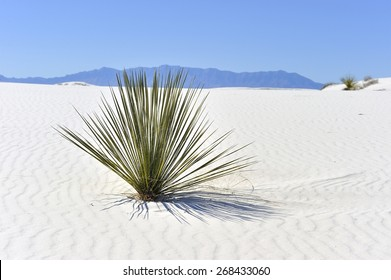 Lone plant in Gypsum #3 - Color - Dry cactus plant in the white sand or gypsum at White Sands National Monument in New Mexico with the mountains in the far distance