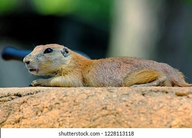 A lone prairie dog lying on a rock