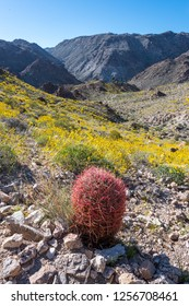 Lone Red Barrel Cactus Stands over Yellow Valley in Joshua Tree