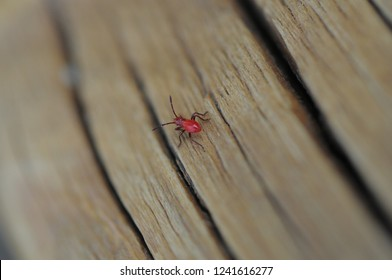 Lone Red bug