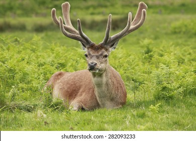 A lone red deer stag resting in Richmond park, London