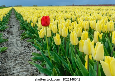 A lone red tulip stands among a blooming tulip field, The Netherlands