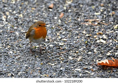 Lone redbreasted robin