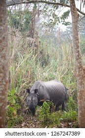 A lone Rhinoceros eating in a misty forest setting in Nepal's Chitwan National Park