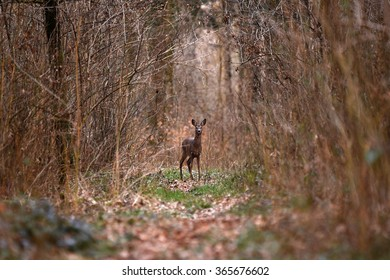 A lone roe deer crosses a hiking path in the forest.