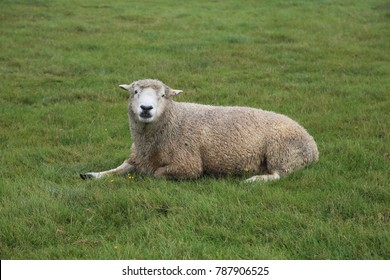 A lone Romney Marsh Sheep sitting in a field of grass. Romney is an economically important sheep breed, especially to the sheep-meat and wool export trades of New Zealand.