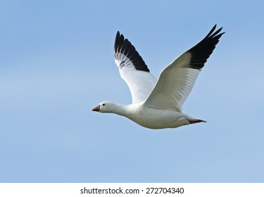 A lone Ross's goose wings through the open sky over Tule Lake in California.