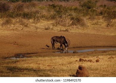 A lone Sable bull drinking at a waterhole in the Zambezi region Caprivi Namibia